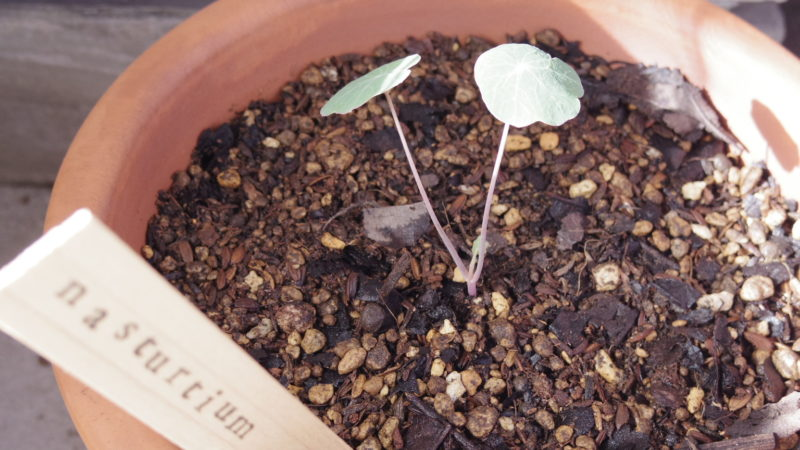 挿し木したナスタチウム